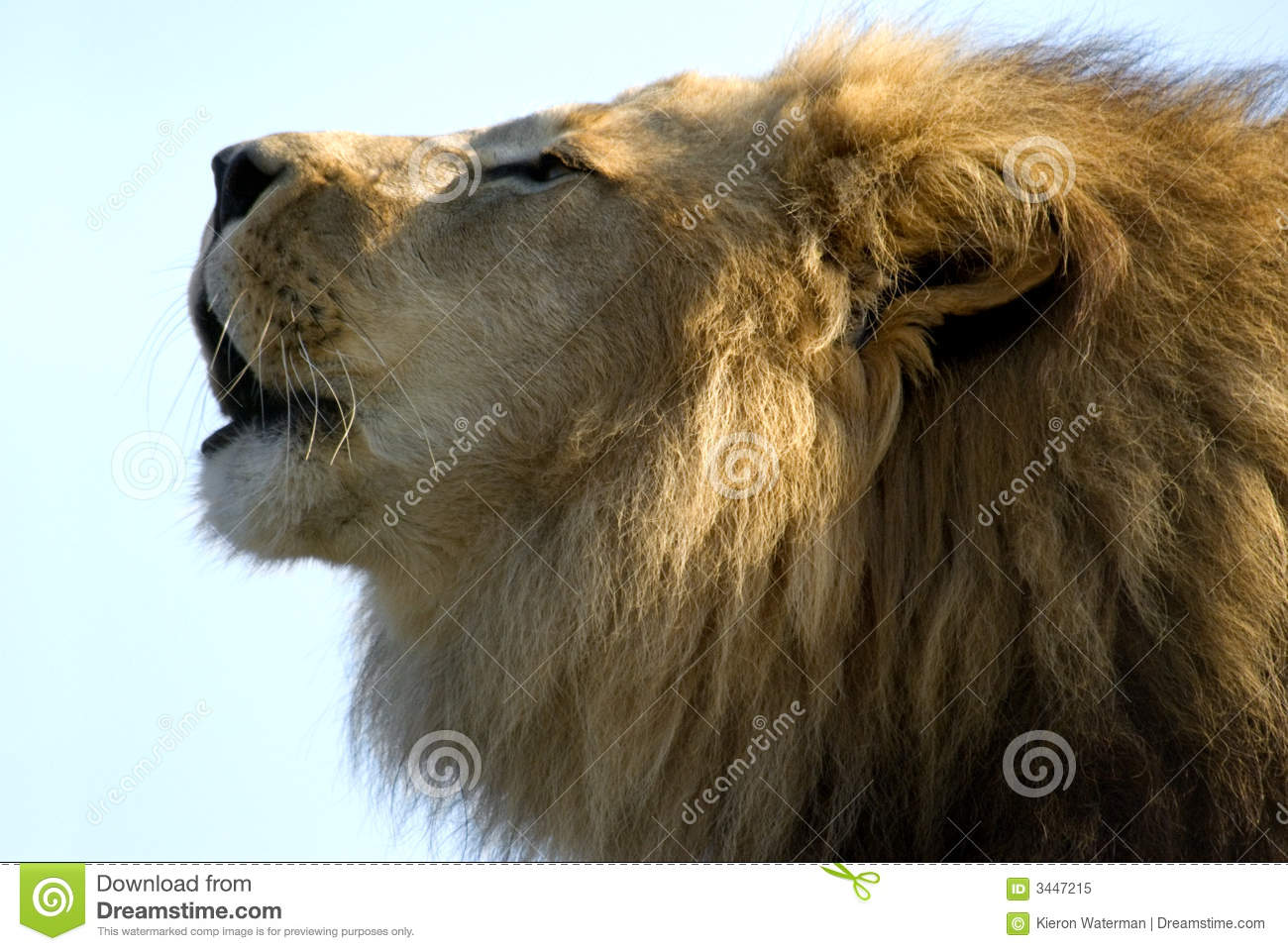 A Lions Roar stock image. Image of king, power, lion, paws ... - photo#38