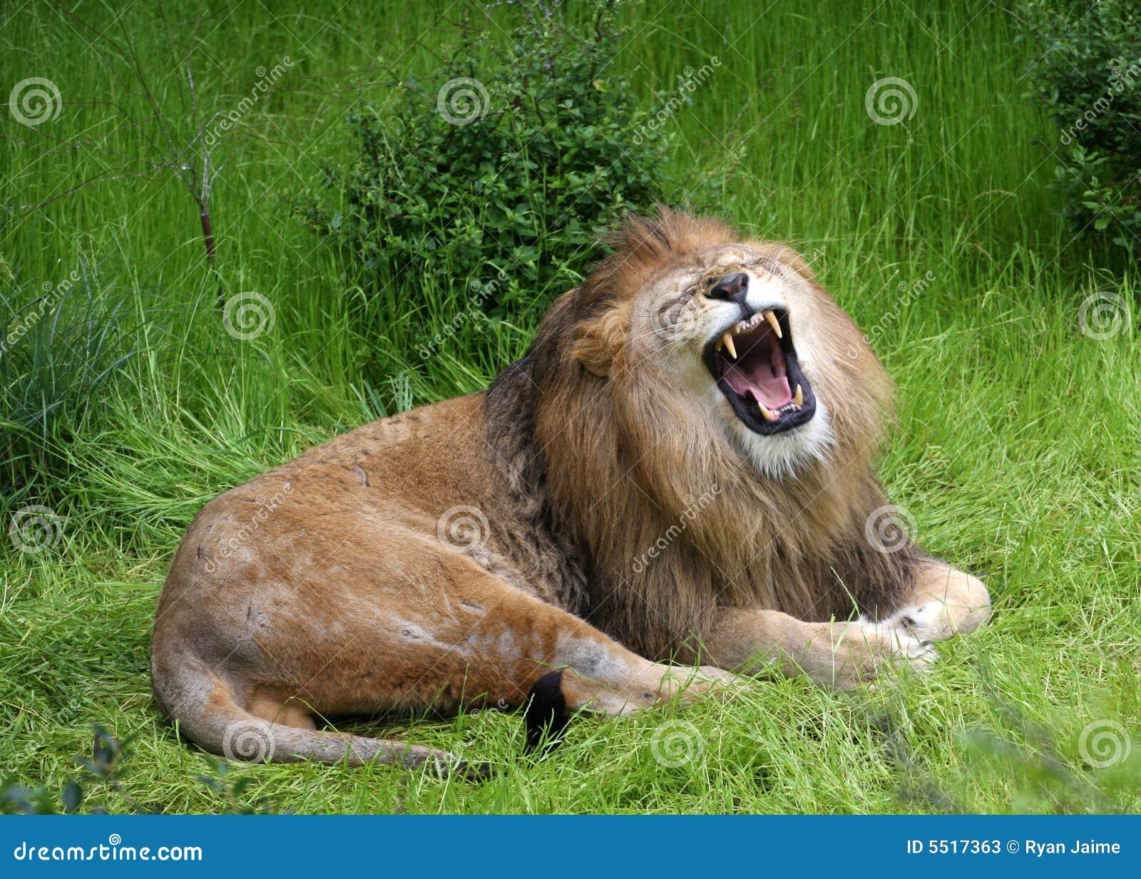 Lions Roar Stock Photos - Image: 5517363 - photo#45