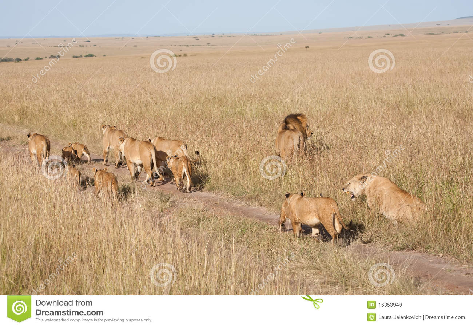 Lionsstolthet