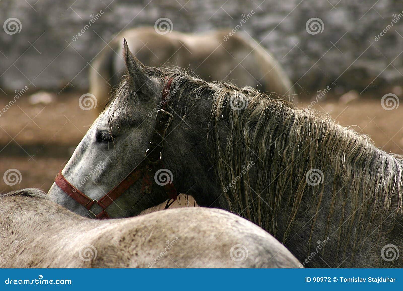 Lipica konia