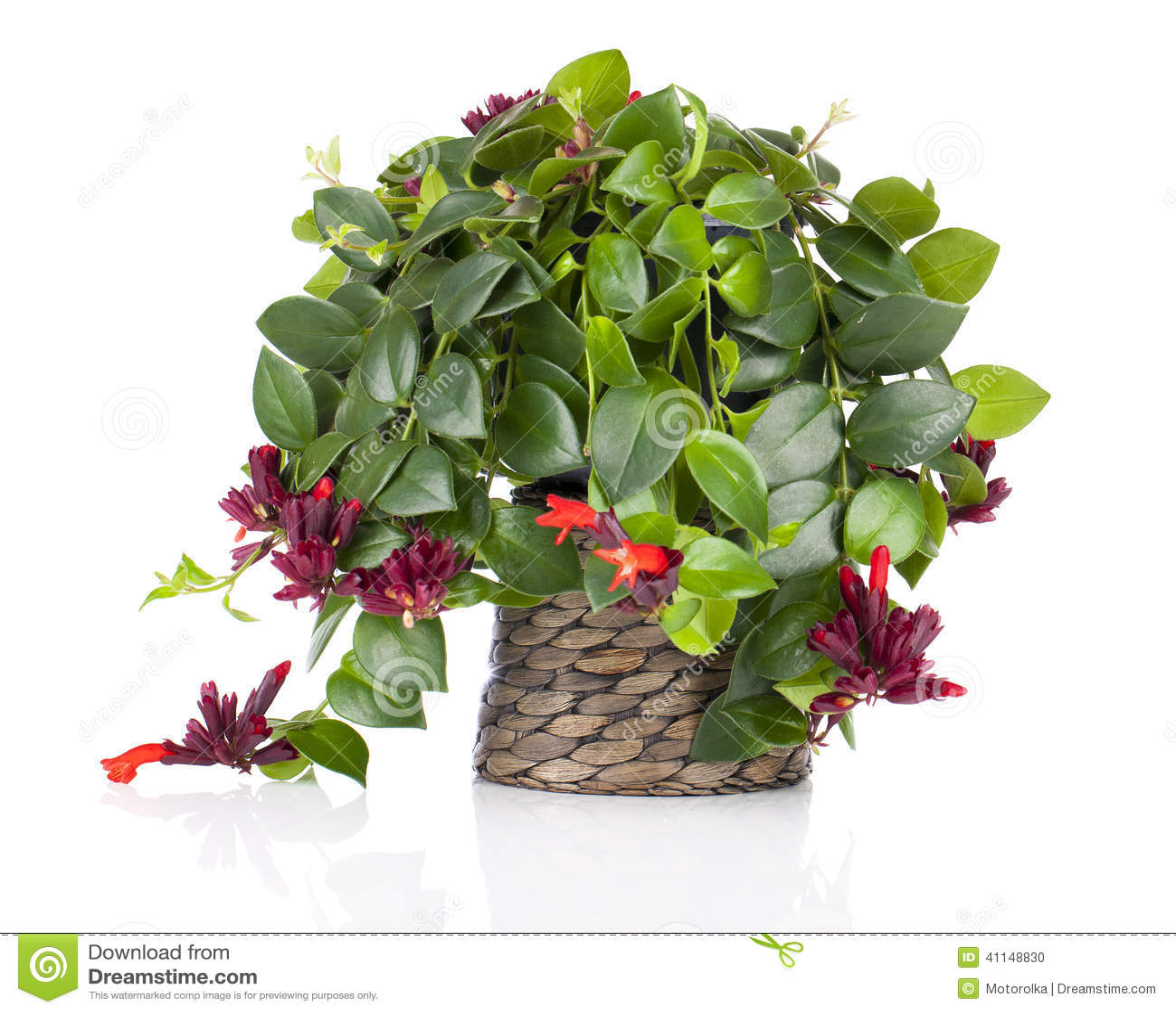 lipstick plant  aeschynanthus radicans  in pot  stock