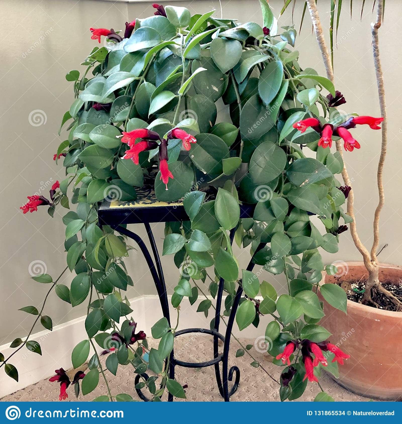 Lipstick Plant Stock Photo Image Of Houseplant Bloom 131865534