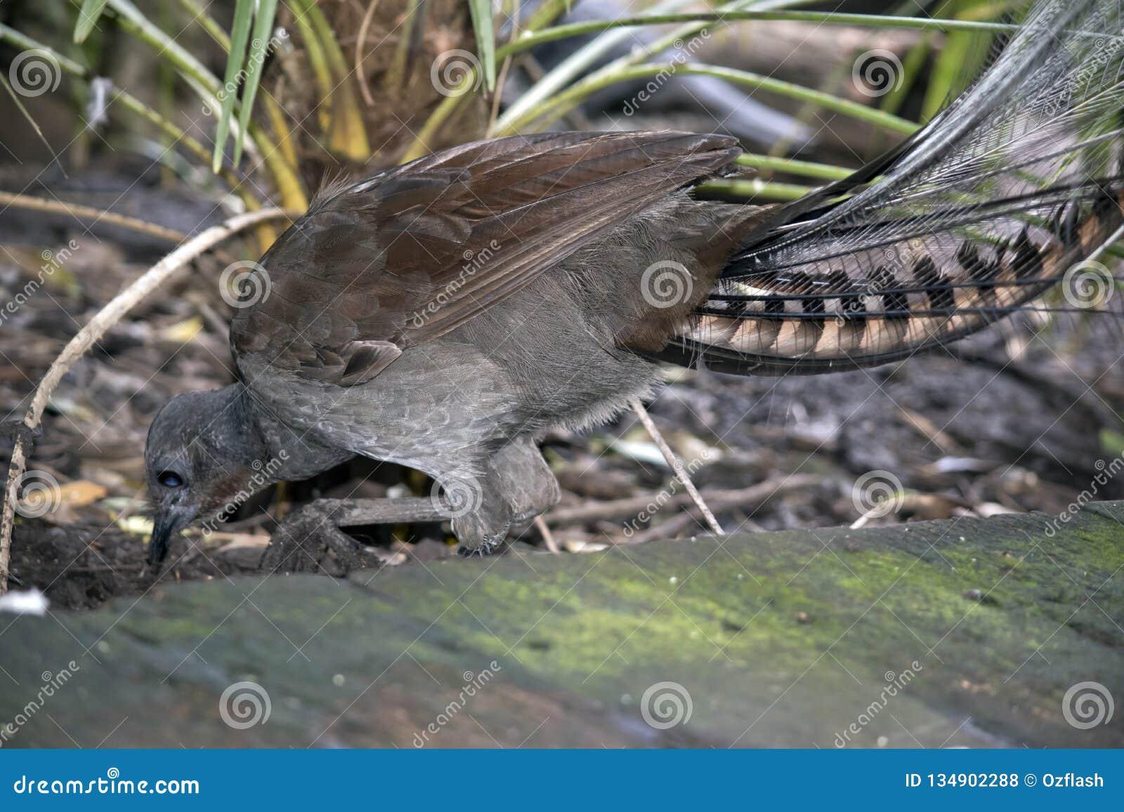 Lira ptak
