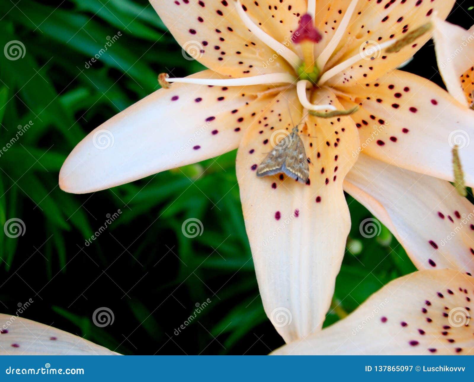 Lirio con una mariposa en una flor