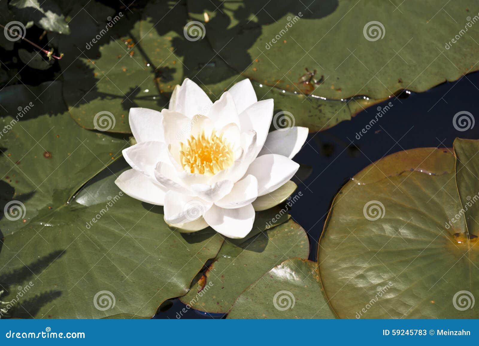 Download Lirio De Agua Del Loto Blanco En El Lago Imagen de archivo - Imagen de lago, travieso: 59245783