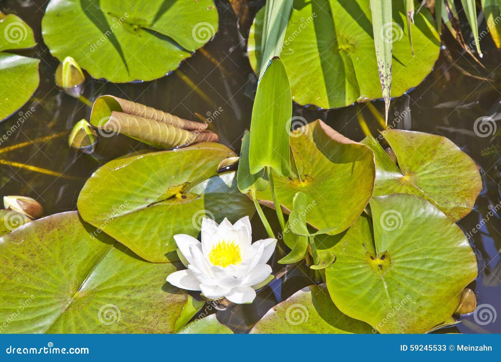 Lirio de agua japonés del loto blanco