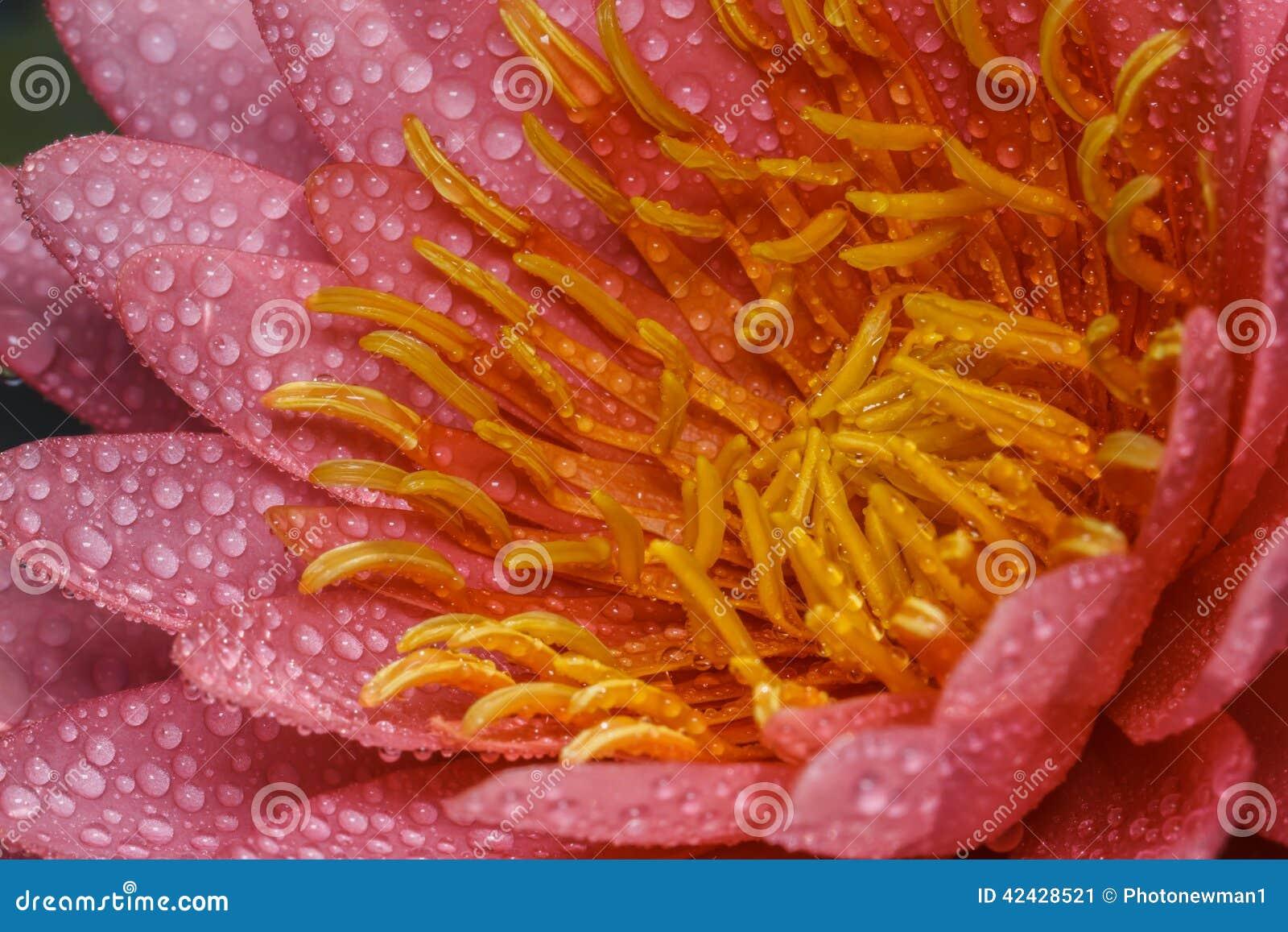 Lirio de agua rosado