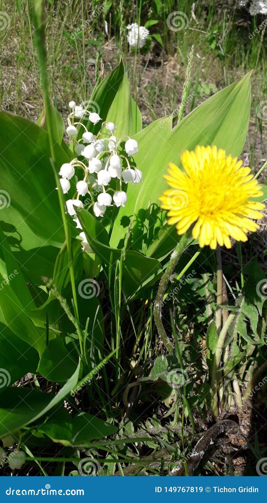 Lirio de los valles blanco y floración amarilla del diente de león cerca
