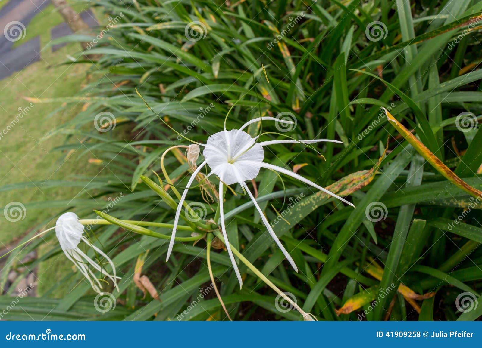 Lirio hermoso de la araña, littoralis de Hymenocallis