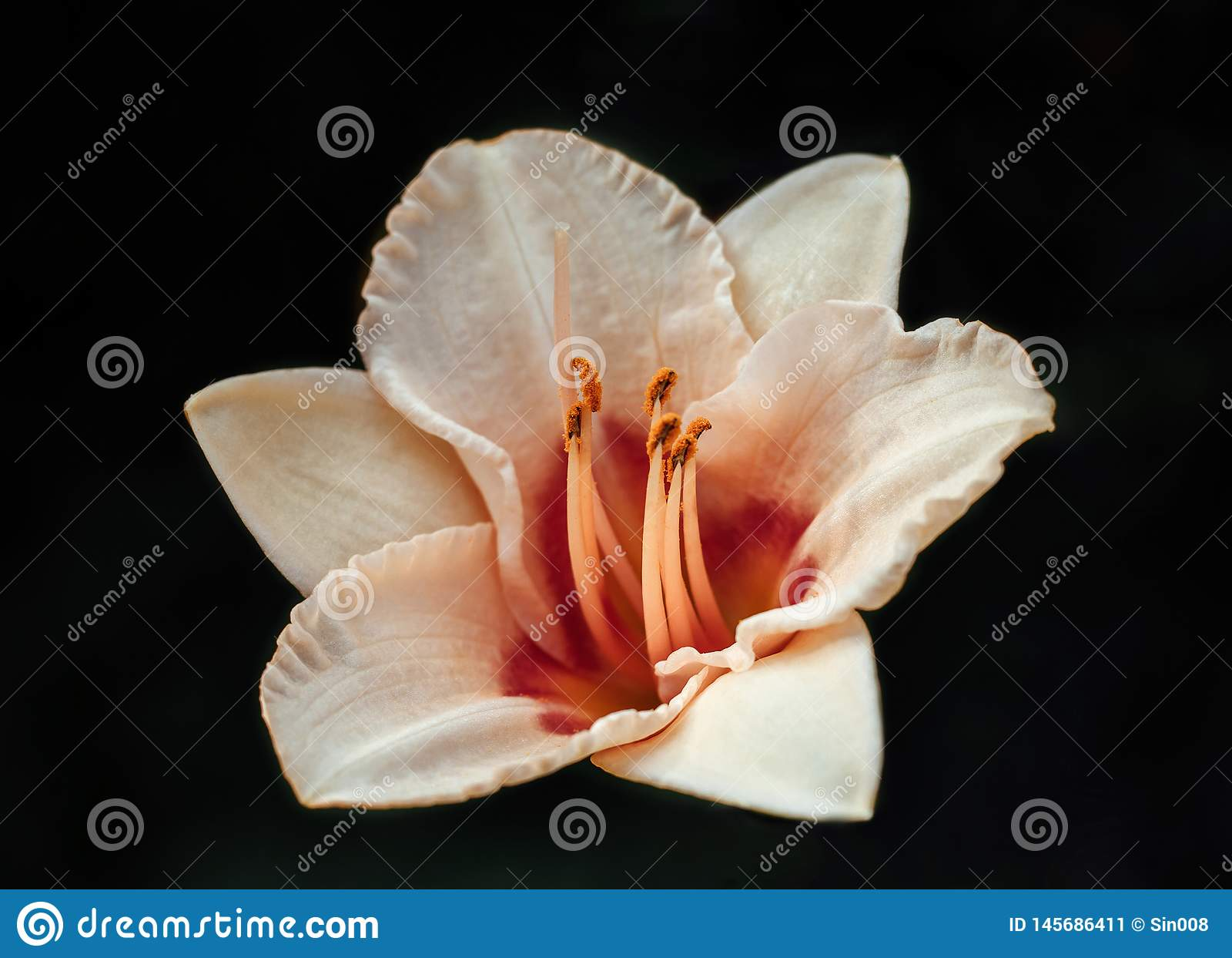 Lirio rosado en colores pastel con el centro rojo-anaranjado Lirio en un primer negro del fondo Estambres anaranjados
