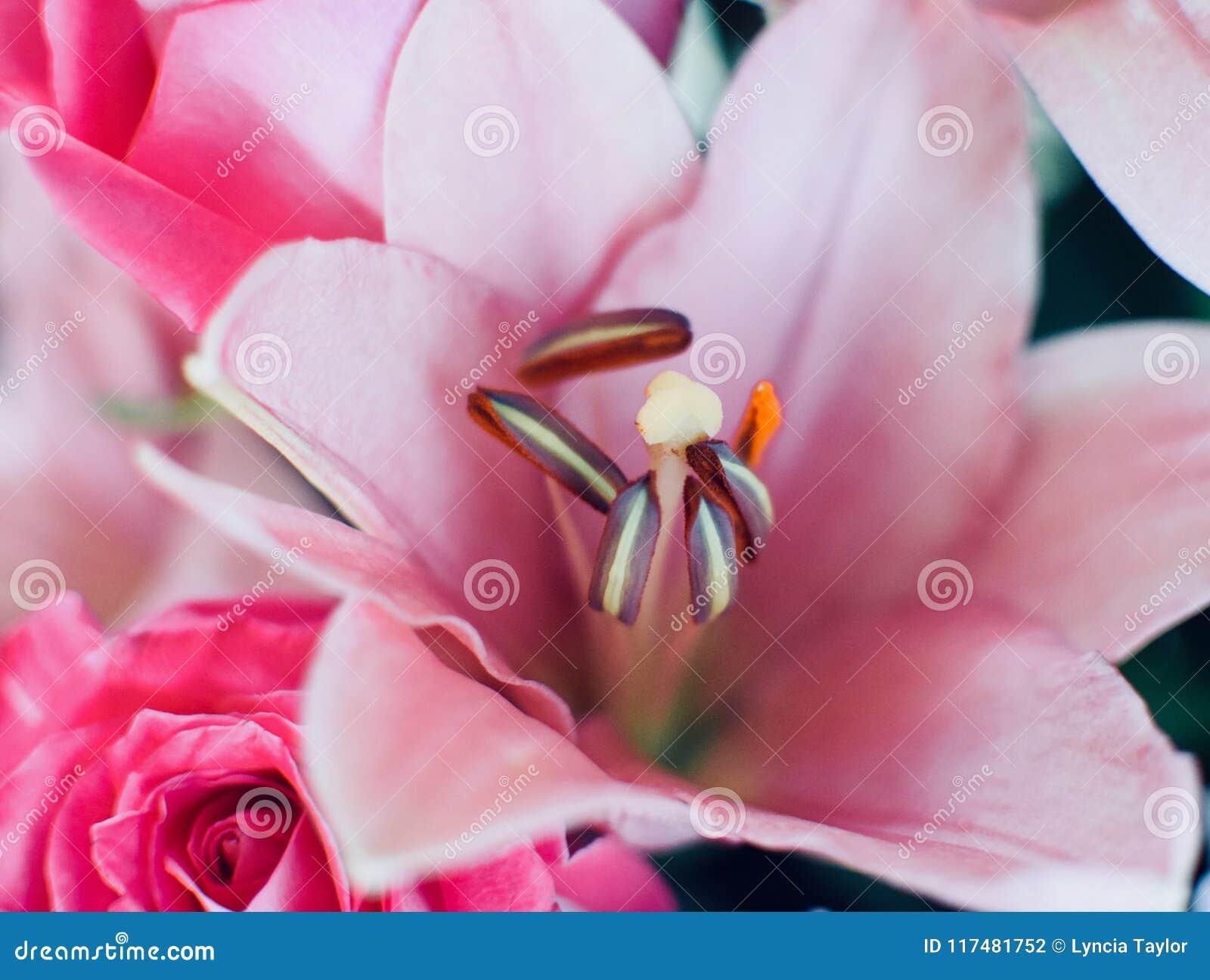 Lirio rosado suave