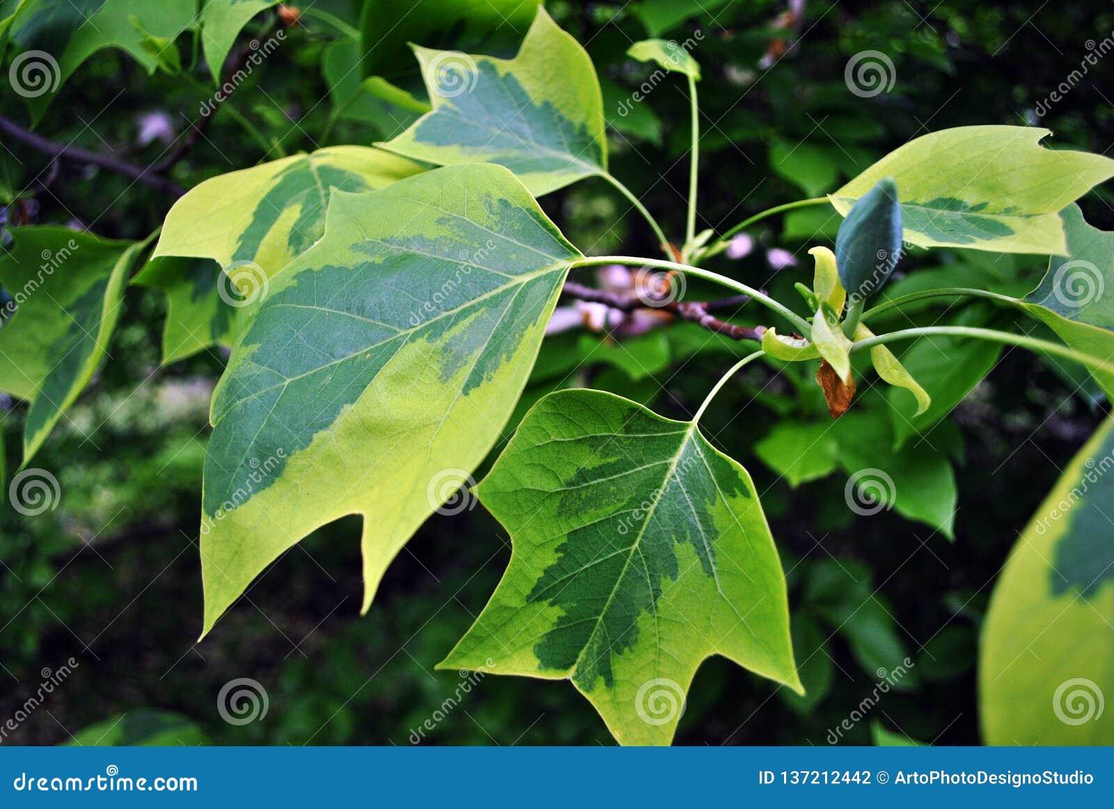 Liriodendron Tulipifera Aureomarginatum Amerikanischer Tulpenbaum
