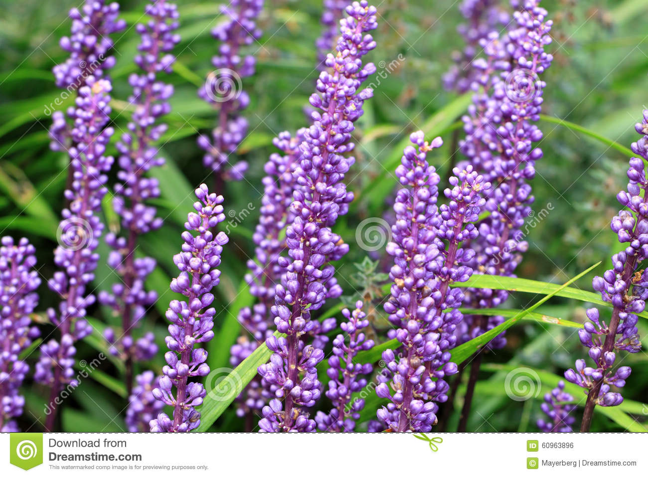 Liriope muscari flowers belongs to the lily family stock photo download liriope muscari flowers belongs to the lily family stock photo image of lilac izmirmasajfo