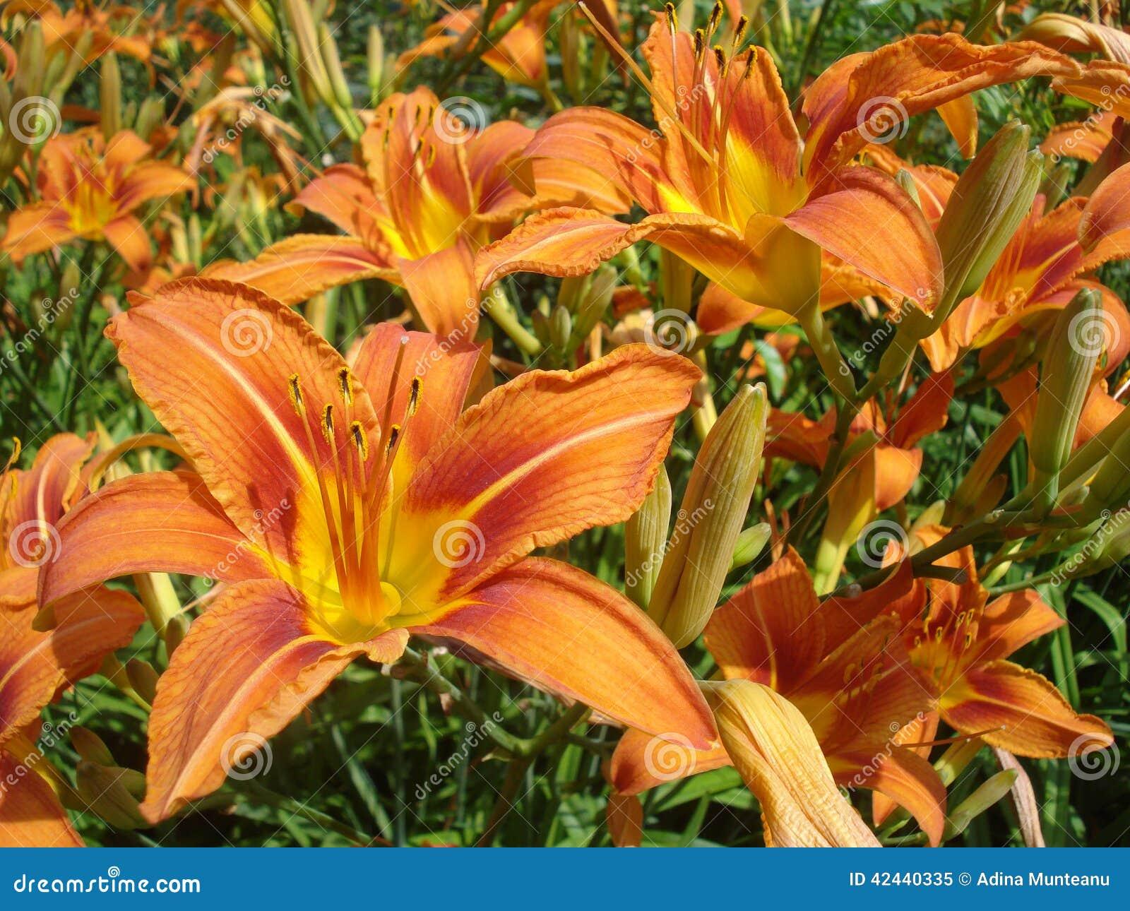Lirios anaranjados