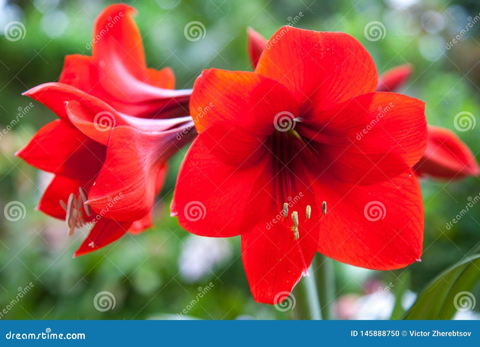 Lirios brillantes rojos de Amaryllis de las flores