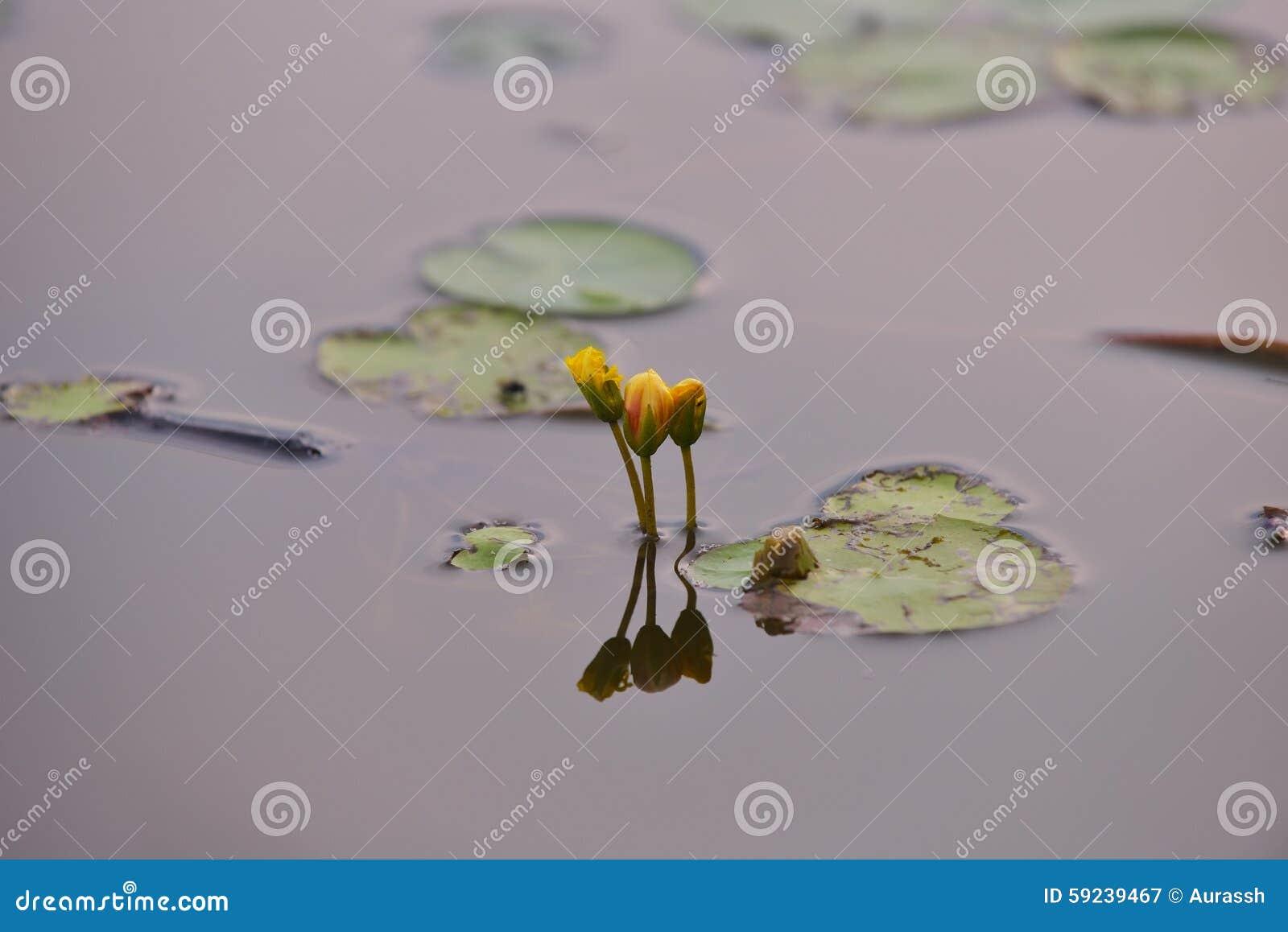 Lirios de agua amarilla en el salvaje