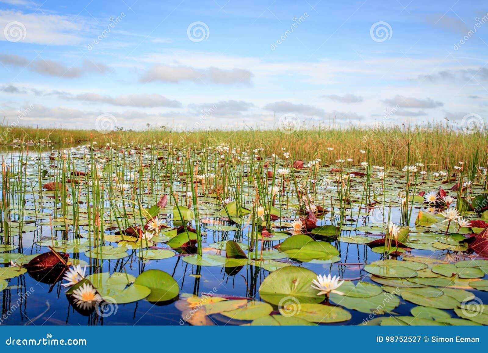 Lirios de agua en el delta de Okavango
