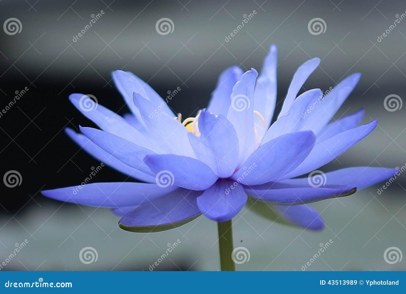 Lis D Eau Bleue Image Stock Image Du Fleur Lotus Bleu 43513989
