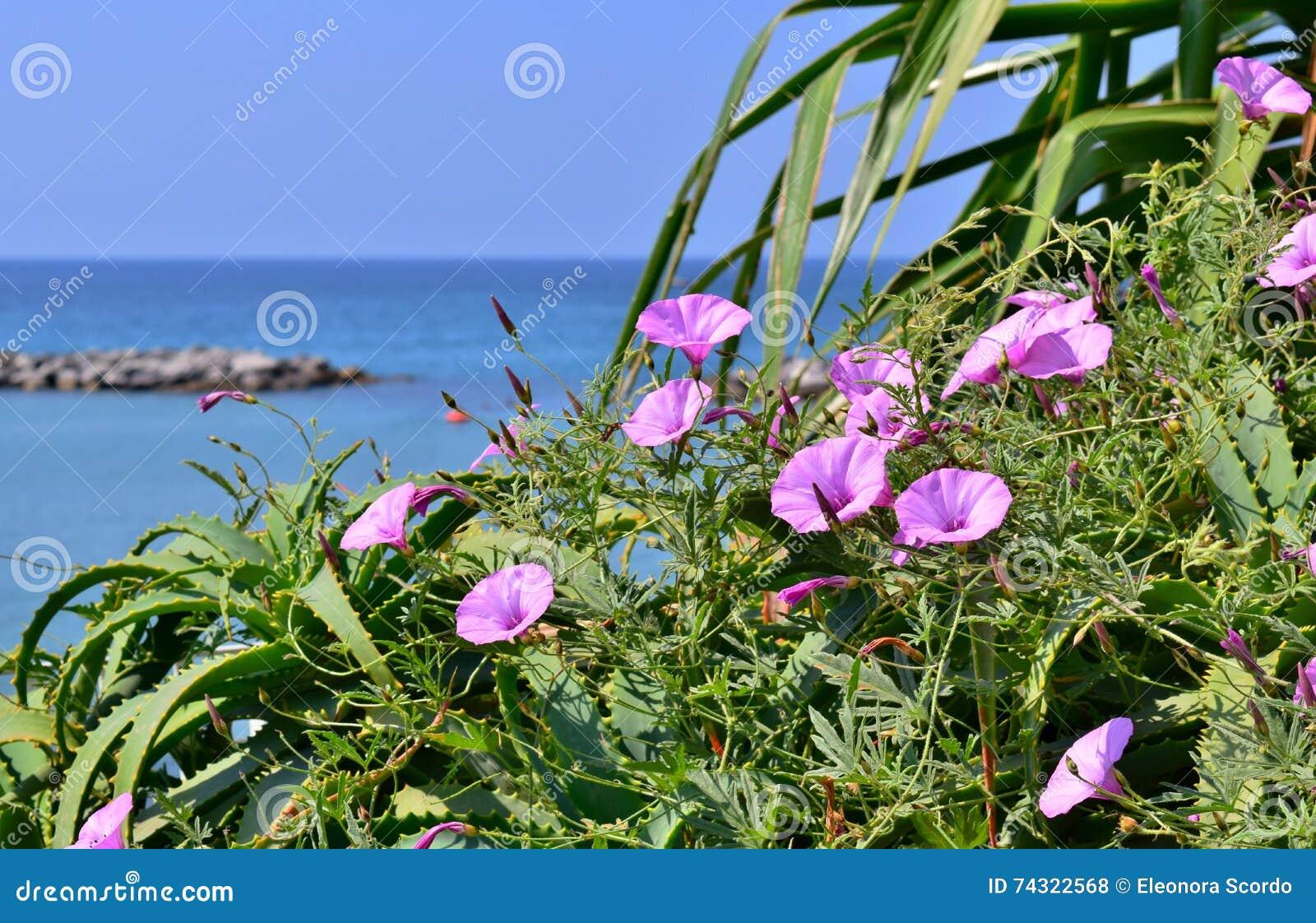 liseron rose de fleurs au bord de la mer photo stock - image: 74322568