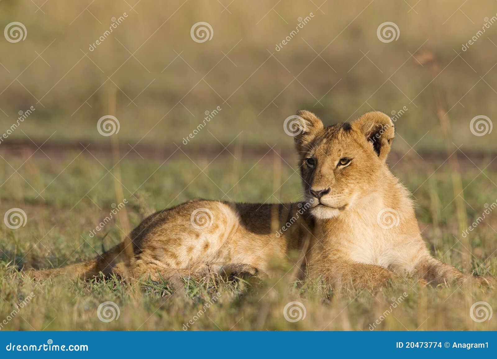 Lisiątko afrykański lew