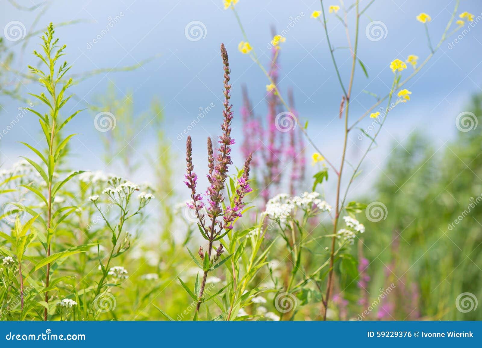 Download Lisimaquia Púrpura Y Otras Flores Foto de archivo - Imagen de otro, agua: 59229376