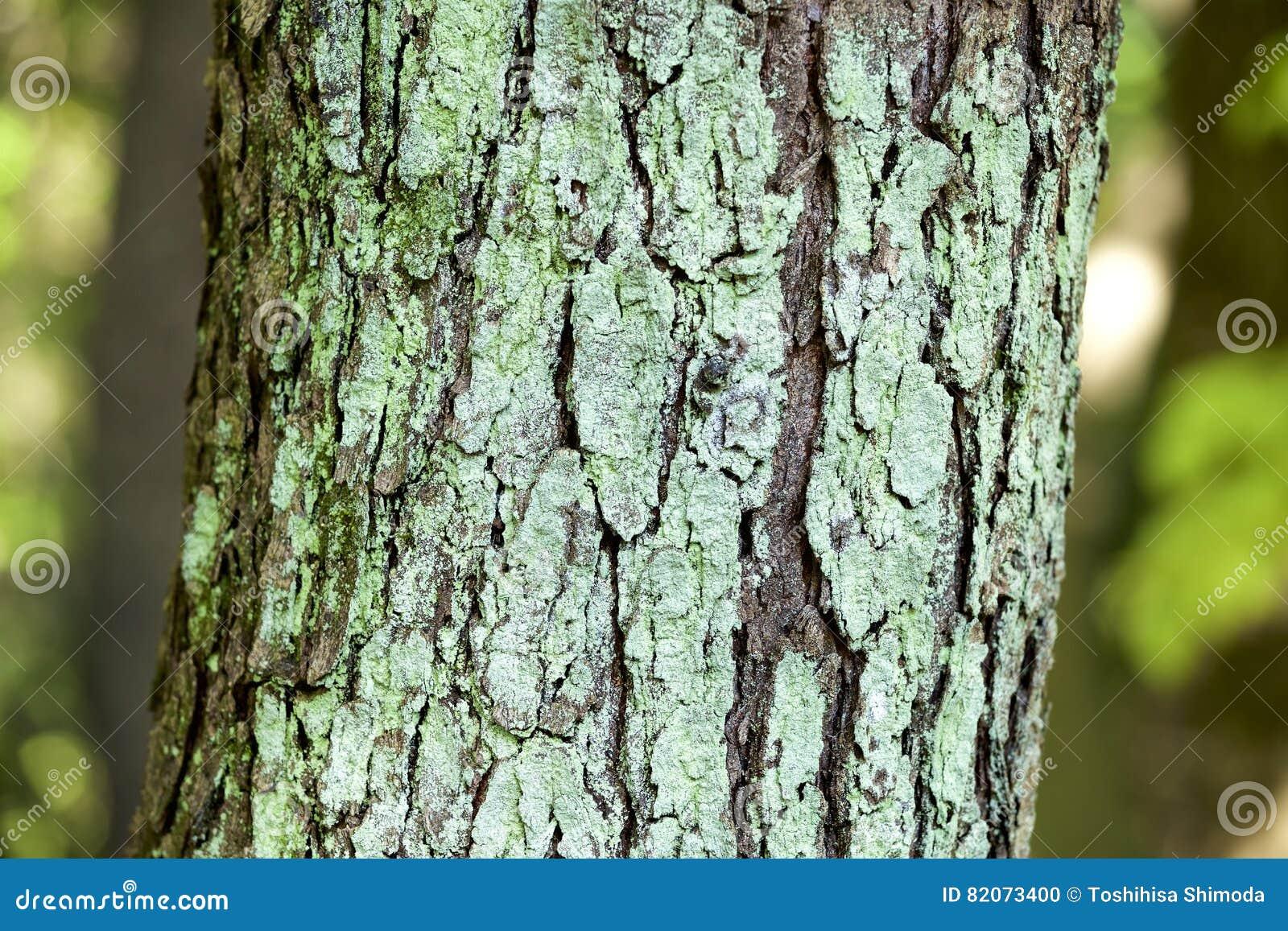 Liszaj laki drzewo
