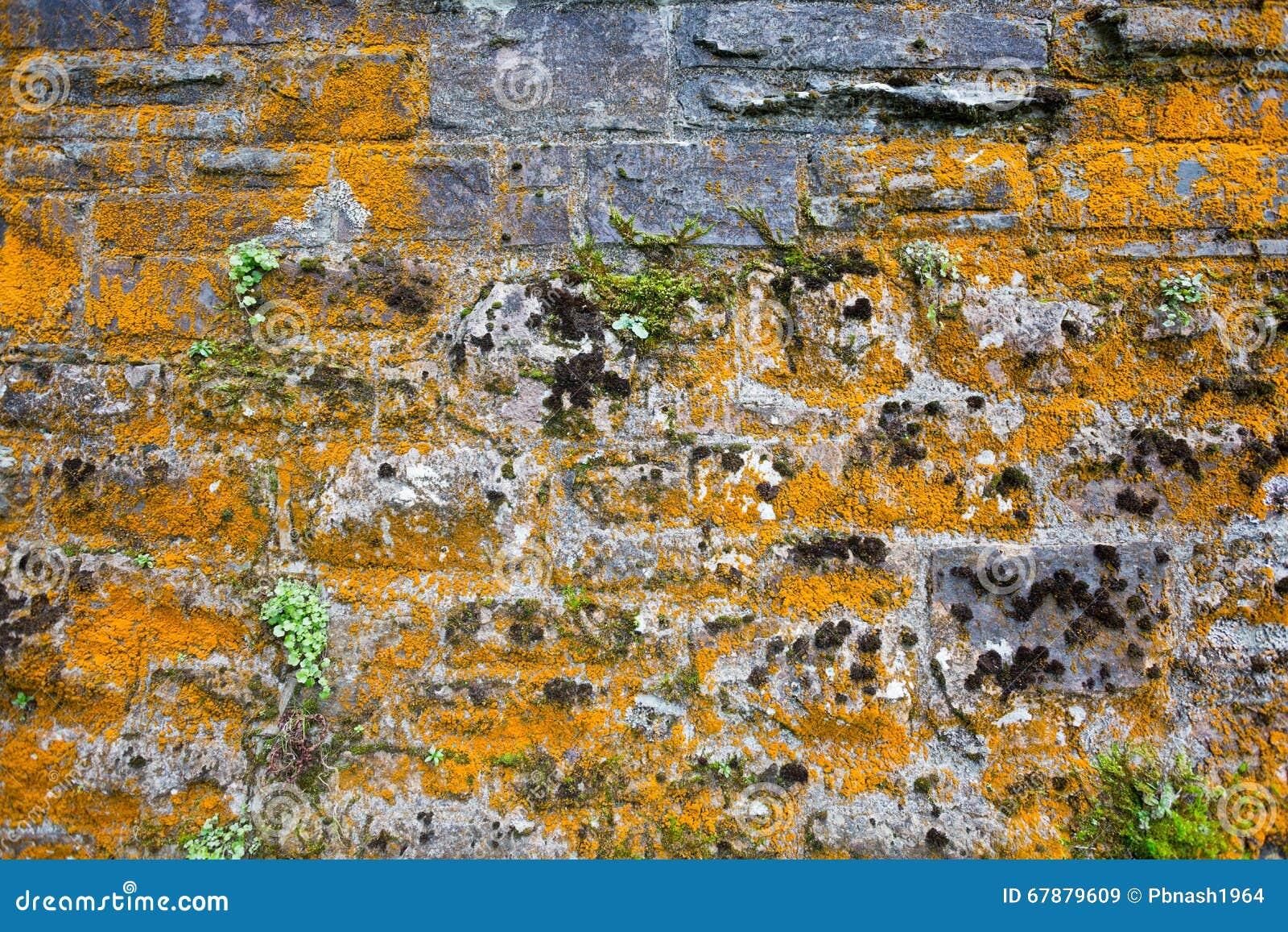 Liszaj zakrywająca ściana