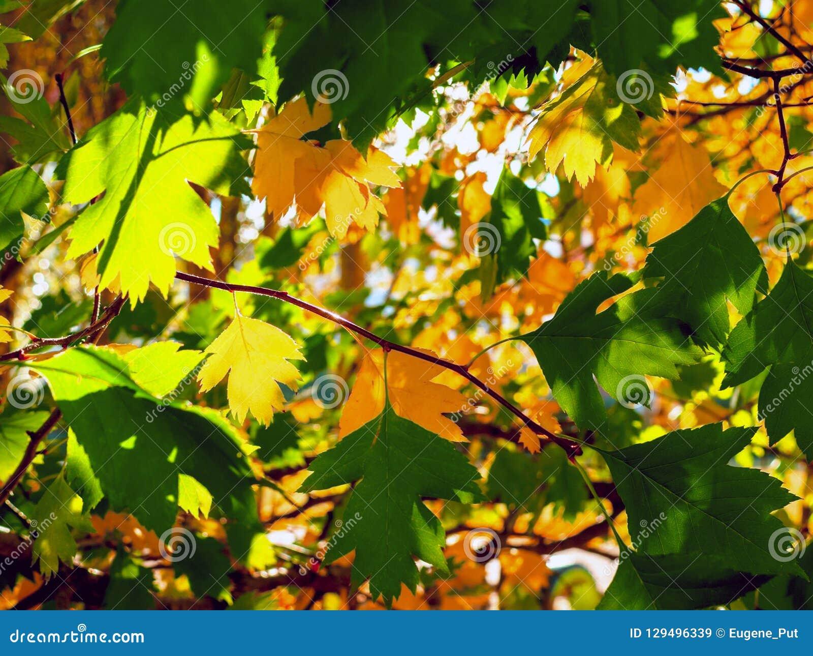 Lit amarelo e verde das folhas por raios de The Sun Fundo colorido Autumn Golden Foliage