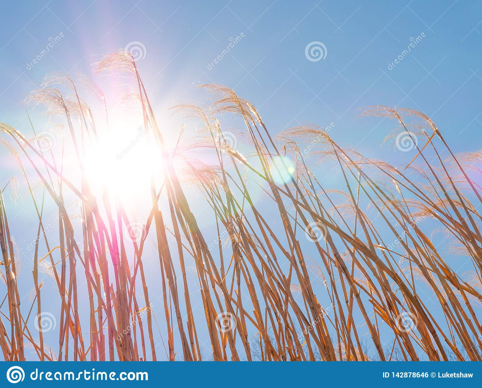 Lit hermoso de la parte posterior del trigo por un Sun majestuoso