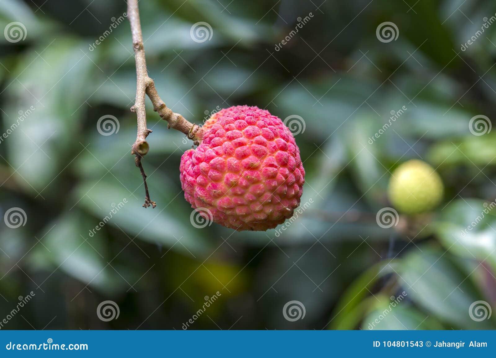 Litchiplommonfrukter, typ av bedanaen på ranisonkoil som är thakurgoan, Bangladesh