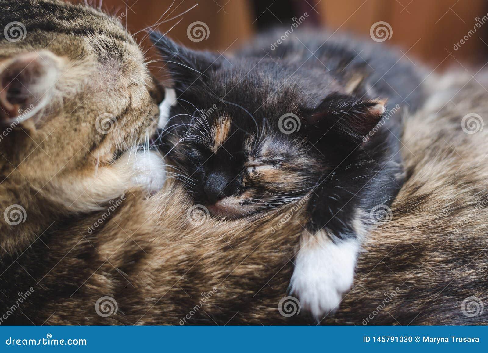 Lite sover den svarta kattungen med vita och röda fläckar på baksidan av hans moder
