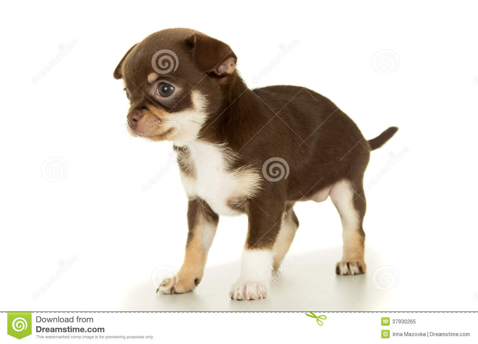 Liten brun isolerad Chihuahuavalp