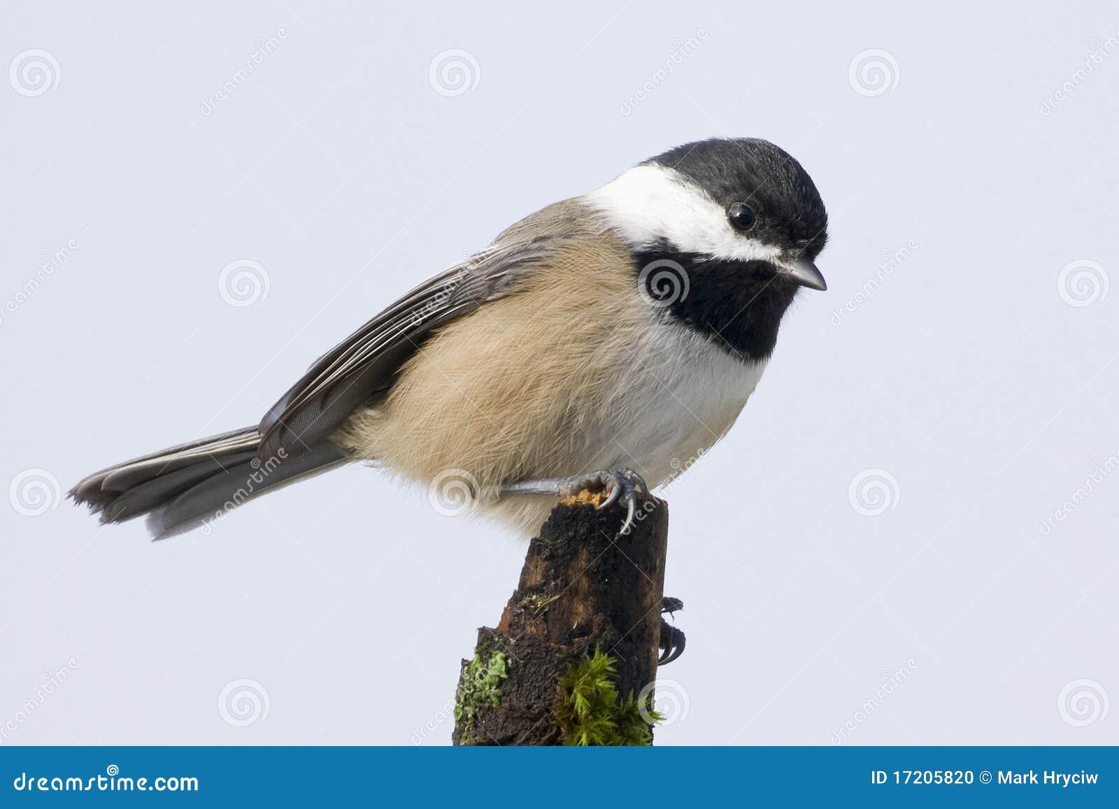 Liten capped chickadee för fågel black