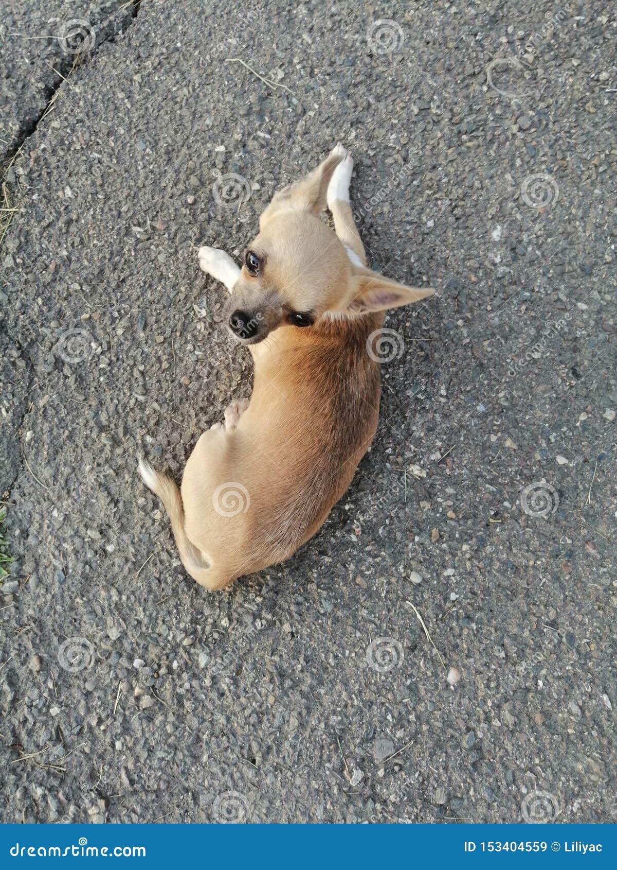 Liten chihuahuavovve på asfalt
