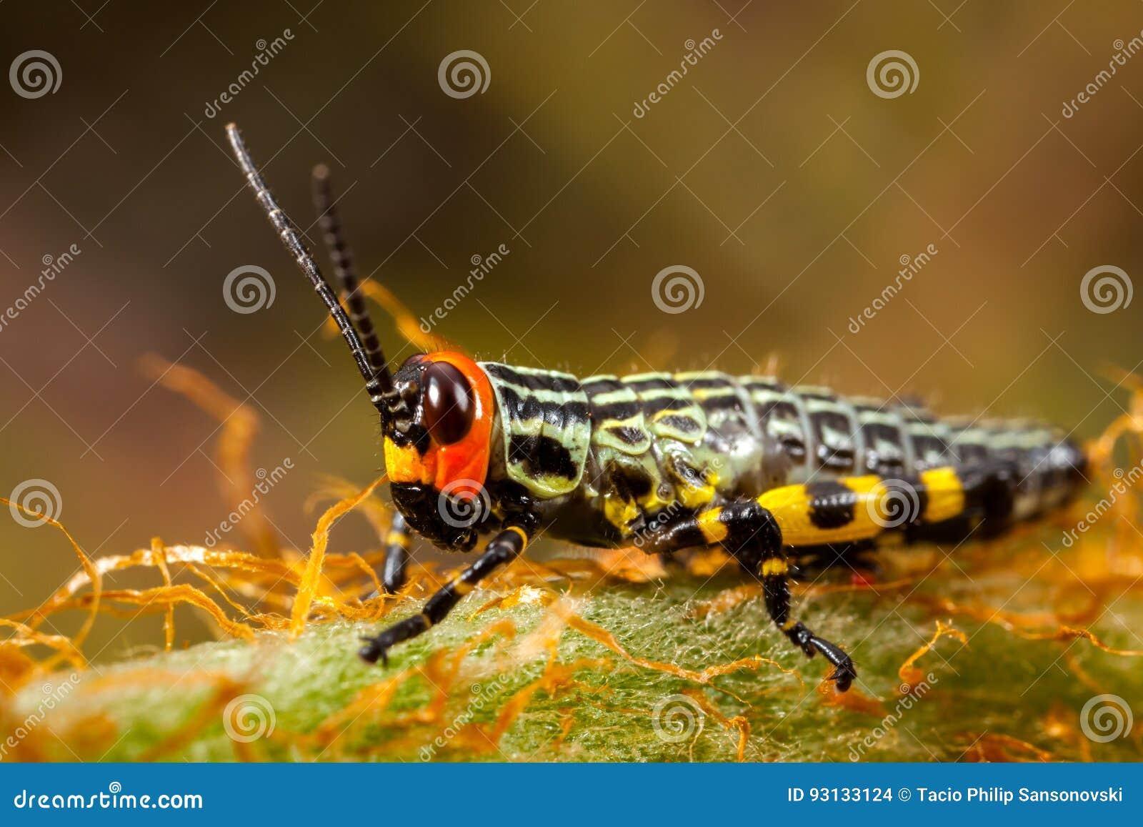 Liten färgad gräshoppa