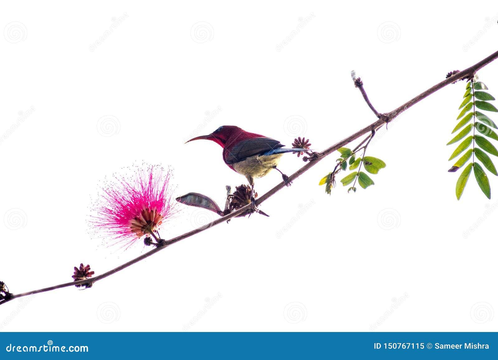 Liten fågelsunbird på en filial i rosa blomma för vit bakgrund