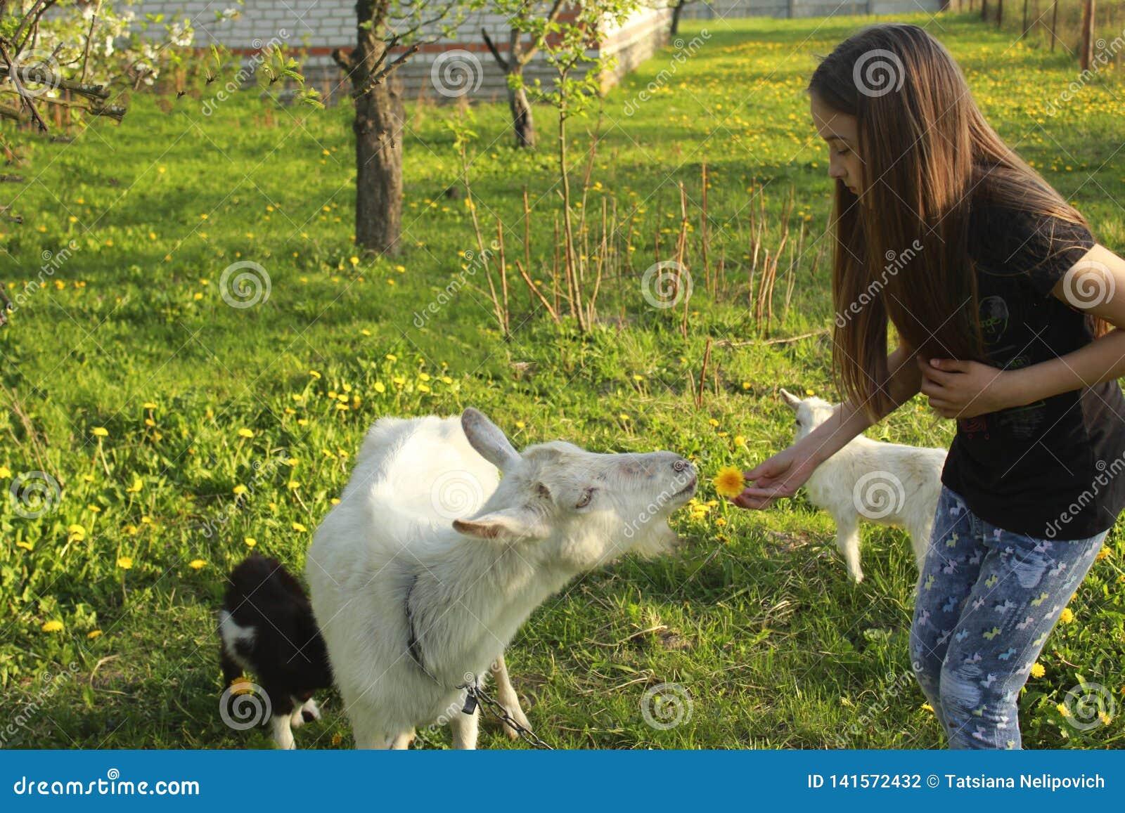 Liten flicka och vit inhemsk get med små getter i ängen på en solig dag i sommarnärbild