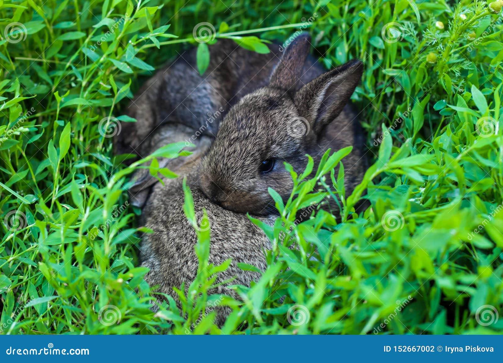 Liten fluffig kanin två i det gröna gräset