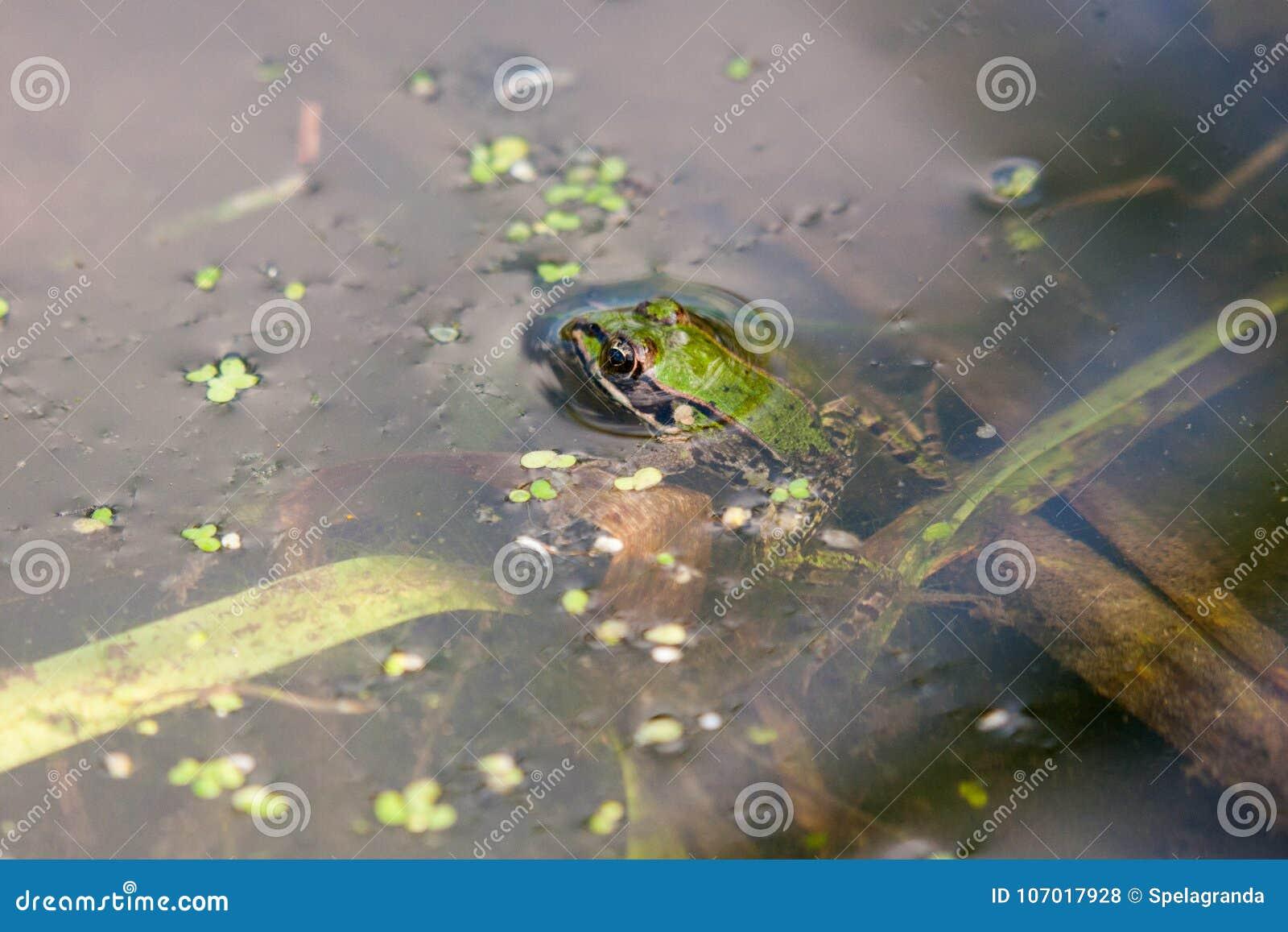 Liten grön groda som vilar i dammvatten