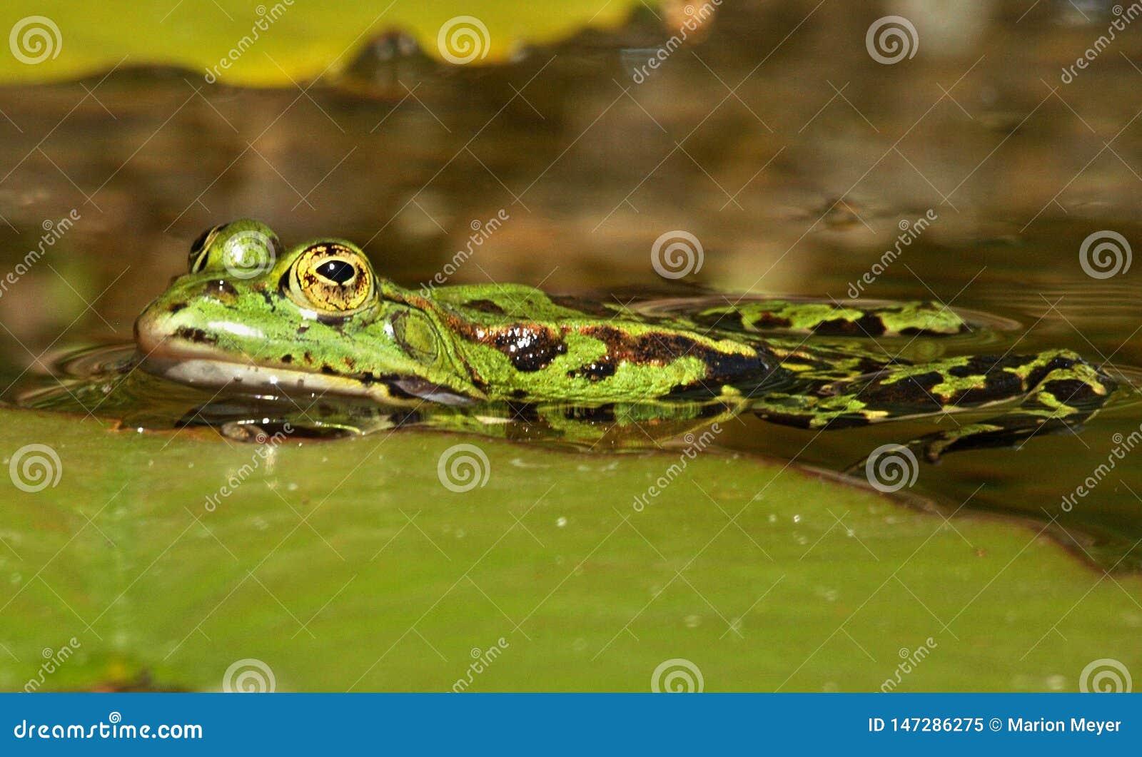 Liten grön vattengroda i ett damm