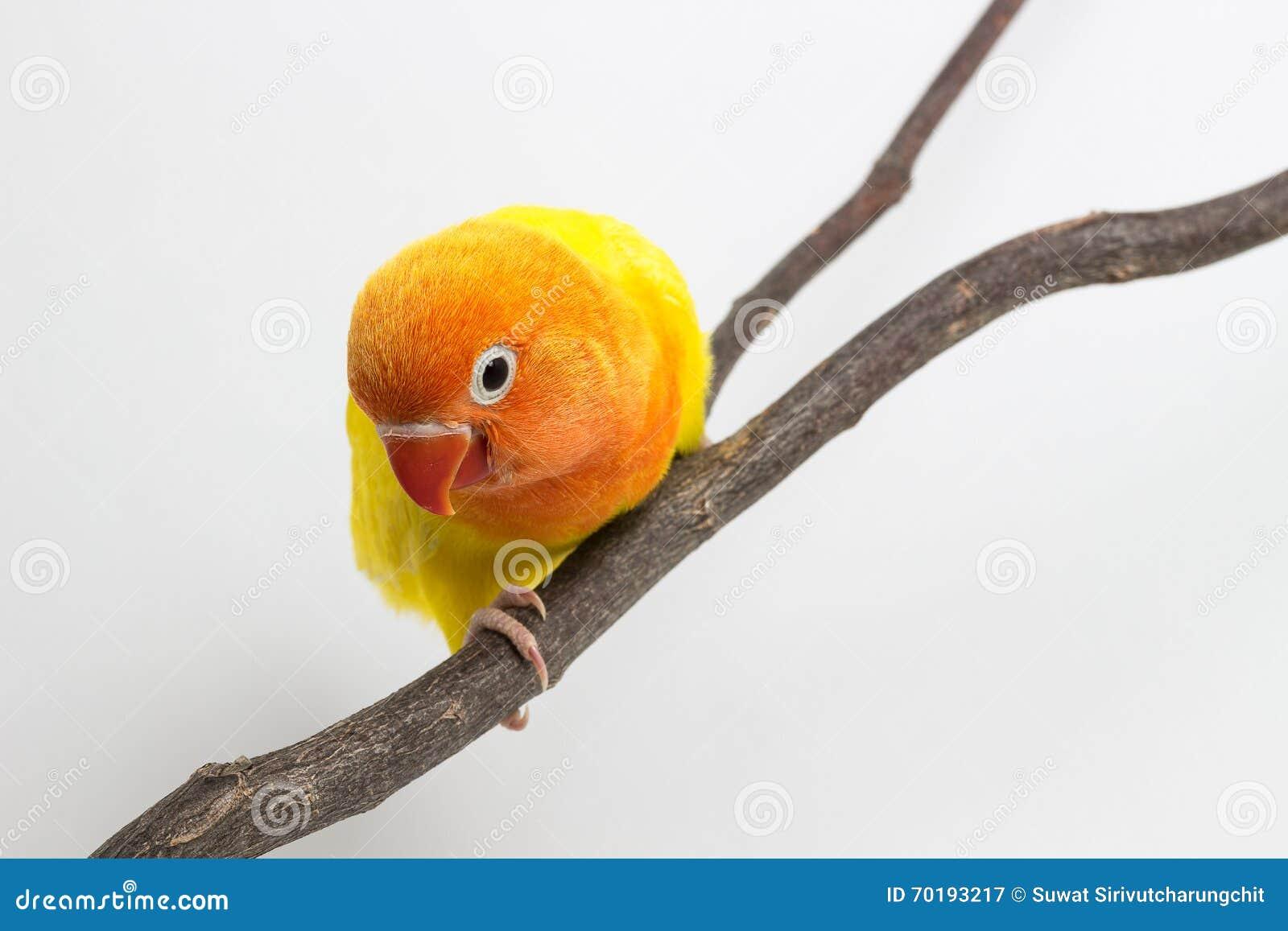 Liten gul dvärgpapegojafågelunge