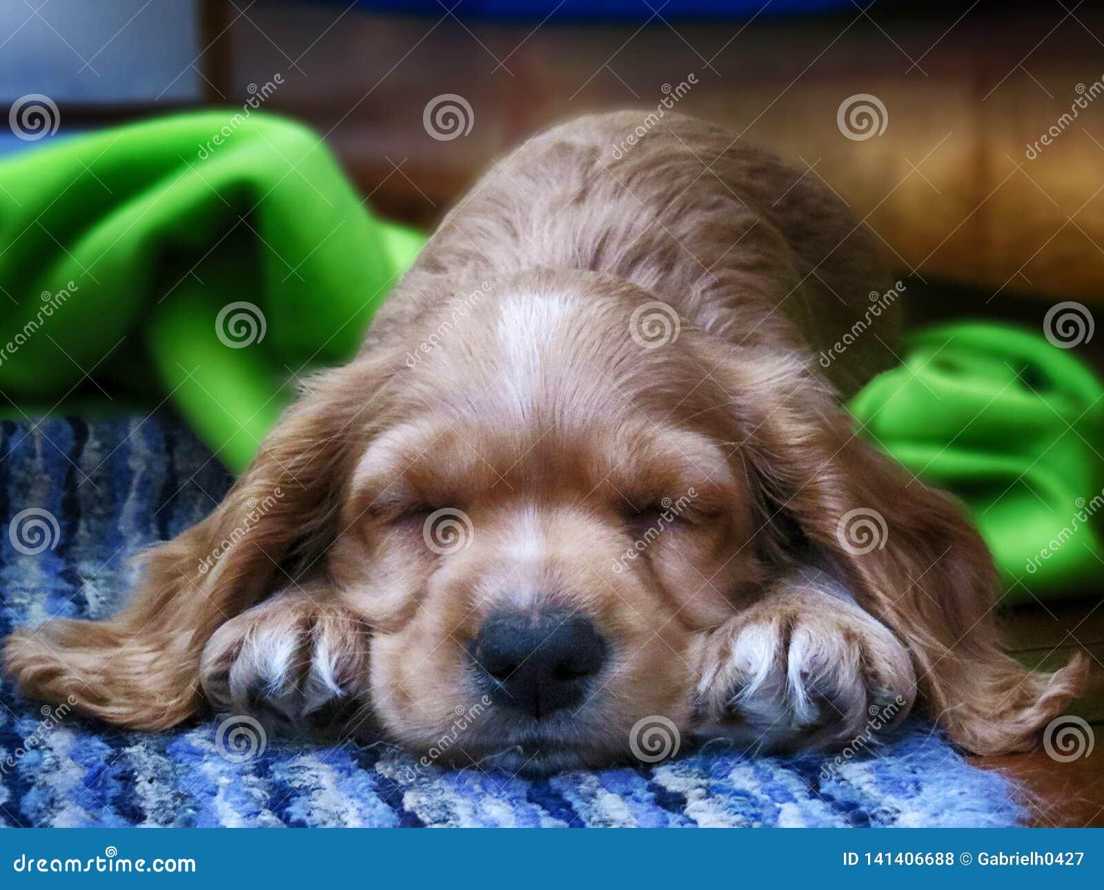 Liten guld- cockerspanielhund som sover på en blå matta