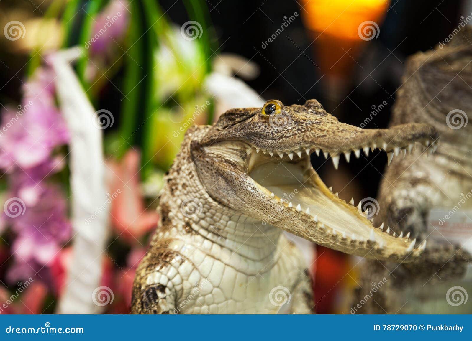 Liten gullig krokodil som skrattar med den öppna munnen med lotten av tänder Reptilattack