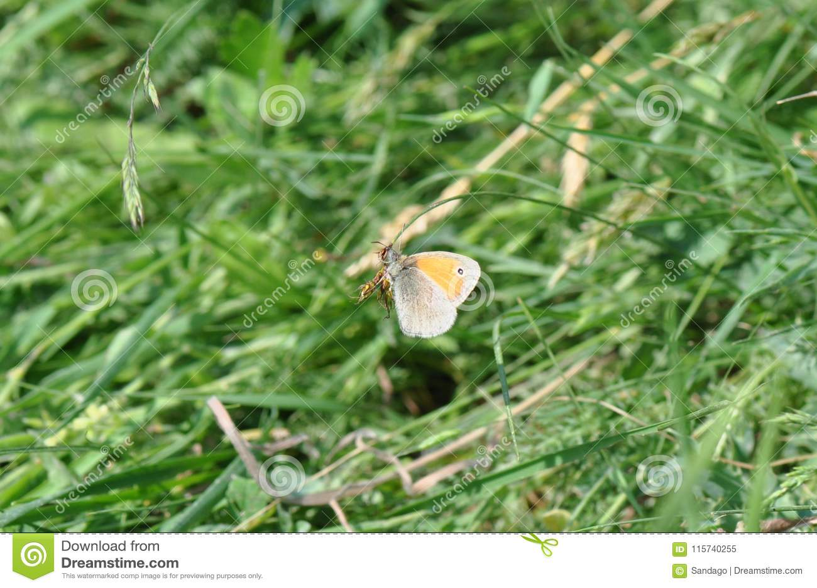 Liten hed för fjäril
