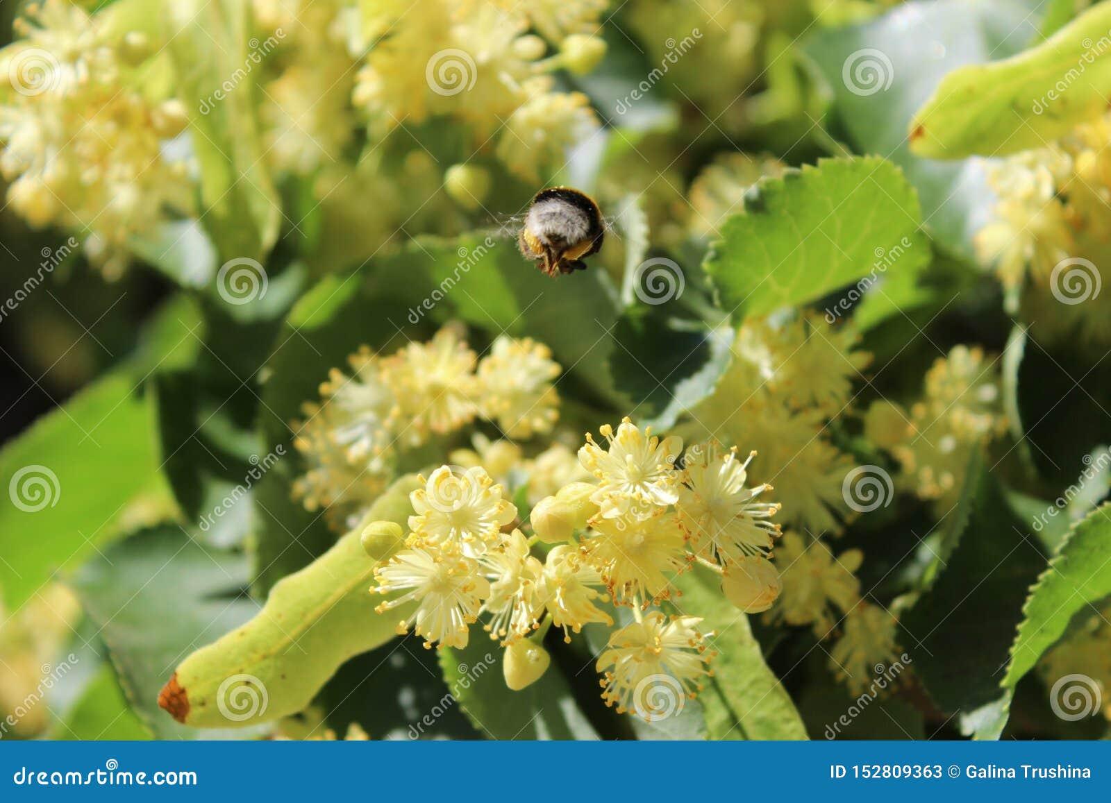 Liten humla på blommor för lindträd, ljust solljus