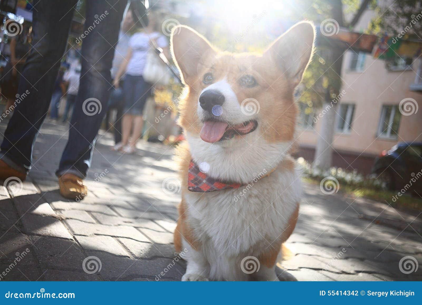 Liten hund för Corgi