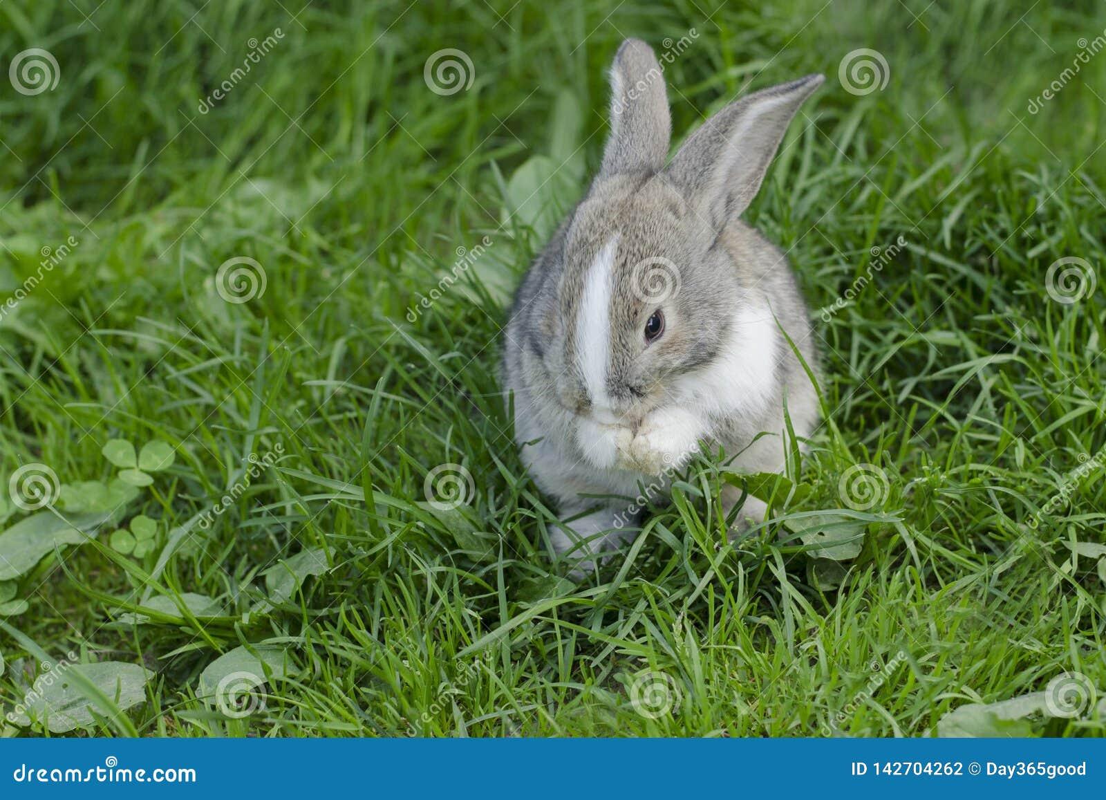 Liten kanin är att tvätta sig Kanin i ängen Haren sitter i det gröna gräset