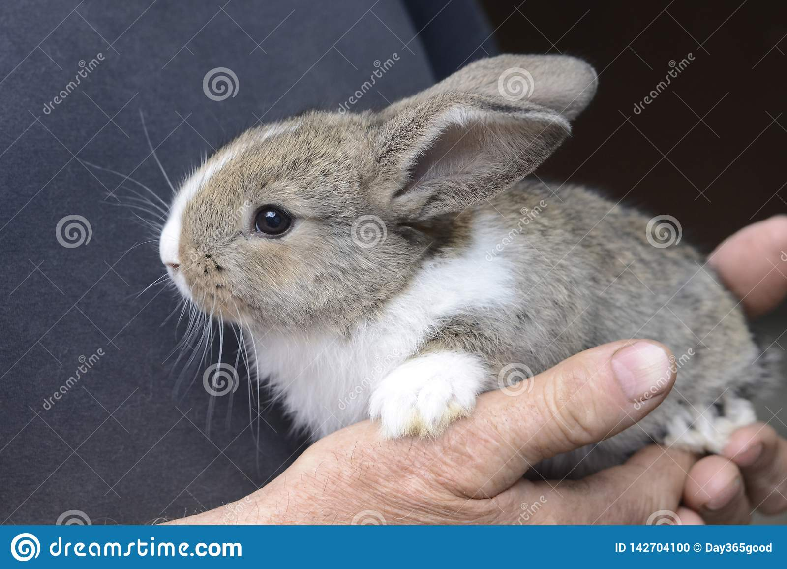 Liten kanin i händerna av en man Bonde som rymmer kanin