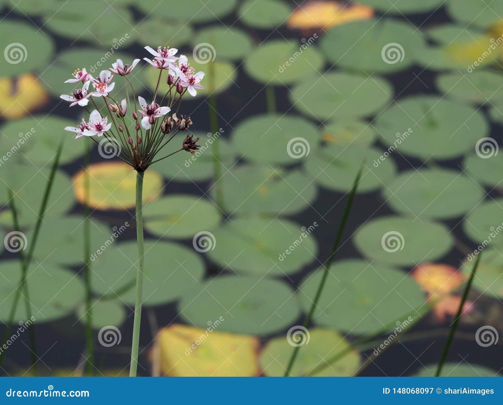 Liten klunga av den purpurfärgade blomman med lilypads