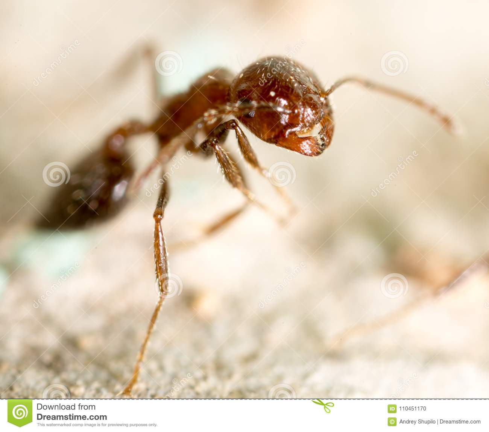 Liten myra i natur supermakrosommar för 2009 blomma